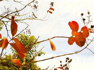 冬天的叶子特别红