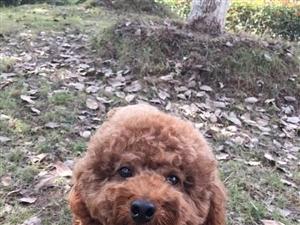 #江西抚州#急寻1月17日下午走失的泰迪