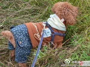 #江西抚州#急寻2016年1月17日下午走失的泰迪