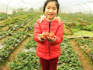又到采摘草莓的时节, 快带上全家去摘草莓啦!