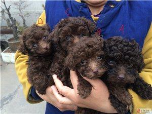 可爱的小泰迪,生了4只小宝宝,有喜欢的可以联系!