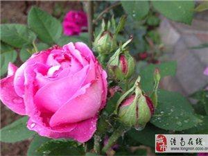 2016重庆潼南玫瑰花节即将开幕啦!