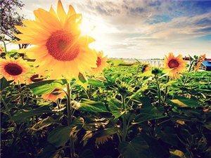 白百合与向日葵