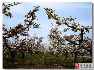 重庆·潼南花岩第二届梨花文化节将于3月12日开幕