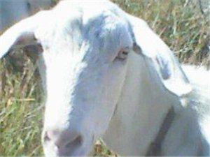 出售优质奶山羊