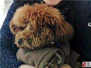 家里狗丢了,泰迪,体型小,在好又多附近丢失,丢的时候穿红色马甲,脖子上