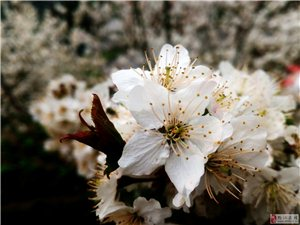 三月踏春,樱花绽放正当时!(欢迎上图跟帖!!)