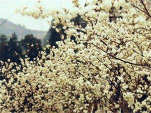 三月踏春,樱花绽放正当时!