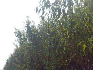 汝州汝南马庄村出售三年龄红叶李、碧桃,价格面议。15993564827