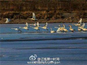 义县:白天鹅来了!