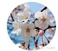 南京鸡鸣寺的樱花真的开了,美爆了!