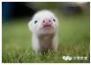 """捡到一对粉嫩小猪,他带回家养着,半年后,""""灾难""""来了……"""