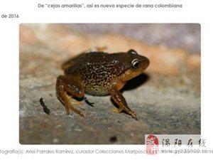 哥伦比亚发现新种陆蛙 有黄色眉毛