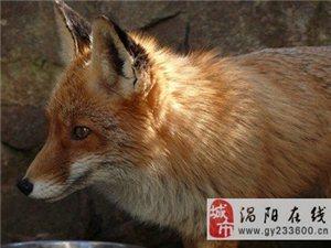 狐狸形象变迁:秦汉时被尊为祥瑞 汉代以后成为淫兽