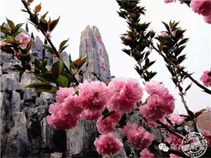 最美的春天 ・ 我在樱花盛开的树下等你!