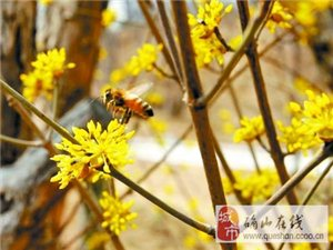 南阳银树沟十万亩山茱萸花早春绽放,登山巅、插茱萸,踏春猴年好运