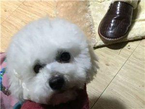 求助:寻狗(白色的母比熊,头修的较圆,身上毛短)重谢