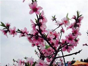 射洪的桃花真美,你知道射洪金华的桃花比桃花山的还美吗?......