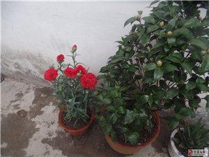 我种的康乃馨开花了