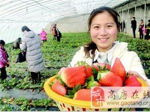 高唐县人和街道快乐宝贝开心农场草莓采摘基地