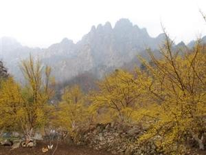 银树沟十万亩幸运花,花开正艳,感受早春山茱萸花海的醉人美景!