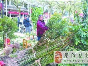 绿化苗木卖得欢