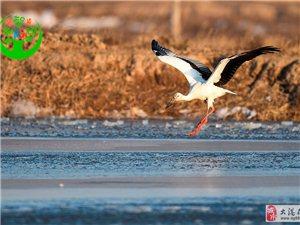补发12月和湿地难说再见的东方白鹳