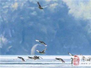龙虎山泸溪河发现野生鸳鸯