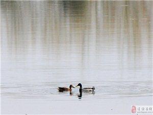 两只小野鸭