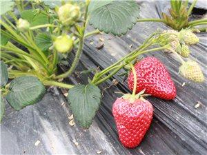 3月26日相约康达农庄吃草莓了,约吗?