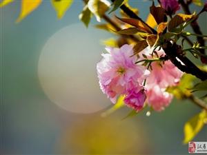大美汉寿(15)银水公园赏樱花
