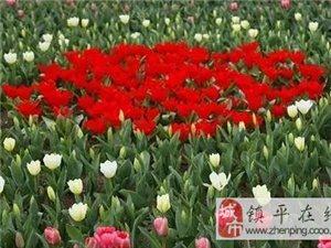 """【哭泣的郁金香】不要�踏春�p花�成""""塌春��花"""""""