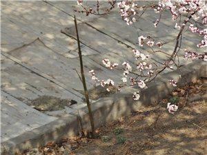 好美的杏花