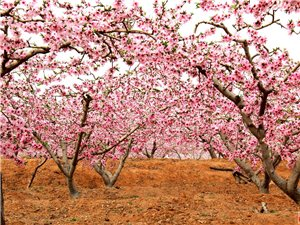 今年家乡的桃花格外美丽
