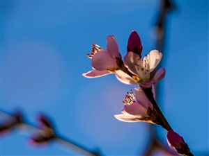 感受春天――学拍杏花