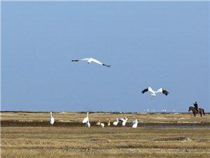 莫莫格保护区白鹤停歇数量创近年新高201606