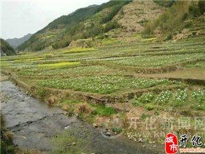 大溪边乡牡丹园20万株牡丹陆续开放