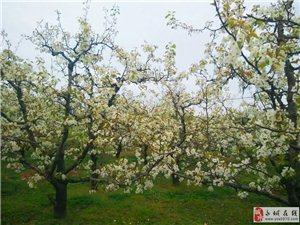 砀山梨花节,满眼梨树梨花!