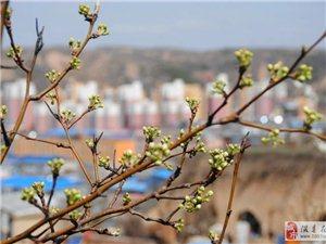 三月三,隰州第一枝梨花绽放