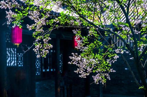 老院的丁香树