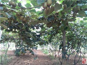 猕猴桃成熟园区