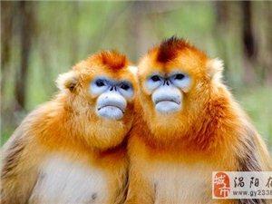 """上海动物园专家赴神农架 组团为金丝猴""""相亲"""""""