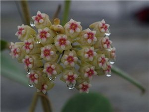几朵球兰花