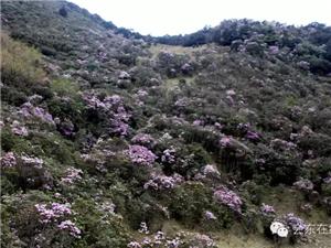 春天到会东看杜鹃花