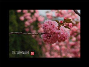 四月樱花季