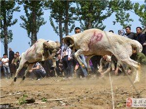 河南安阳举行民间斗羊比赛 羊当场撞晕倒地