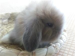 萌兔��物兔垂耳