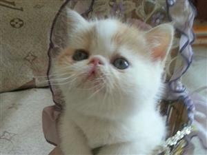 自家加菲猫幼崽火热出售中。