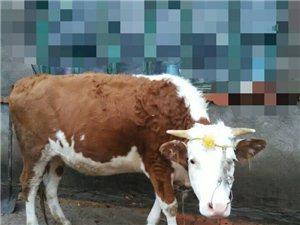 辉南县庆阳镇附近有牛出售
