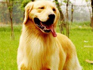 出售家养金毛幼犬